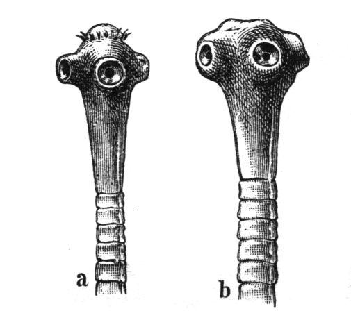 féreg galandféreg