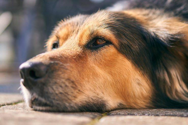 giardia cane si trasmette all uomo