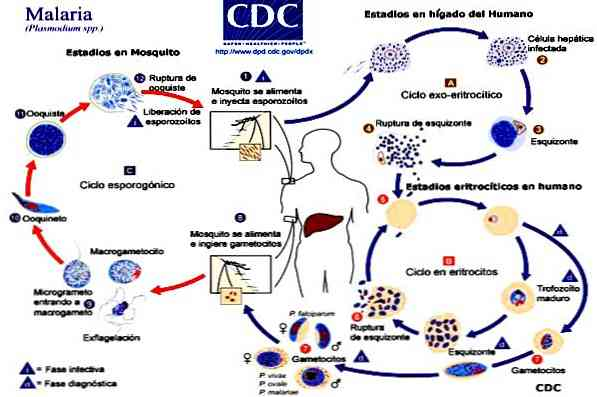 a malária plazmodium jellemzői
