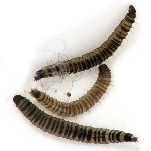 átfogó parazita eltávolítás széles spektrumú gyógyszer a paraziták számára