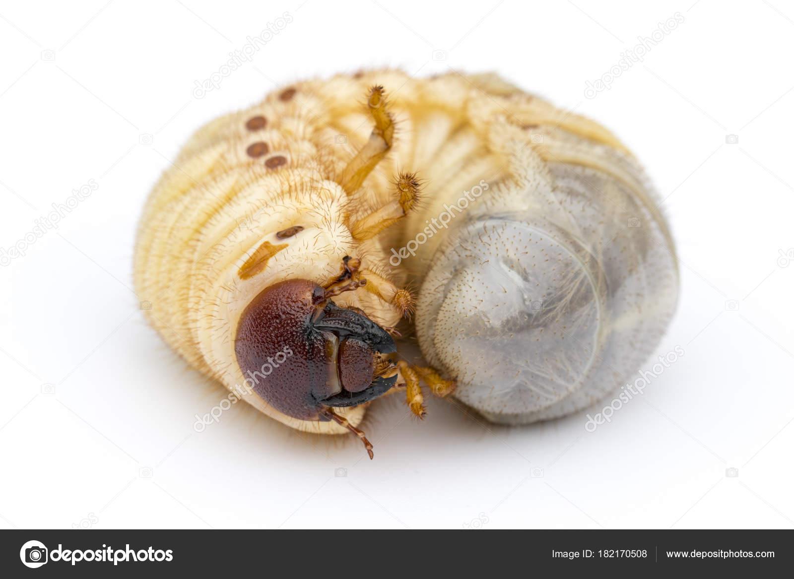 paraziták kezelése az emberi májban széles szalagszalagot röviden