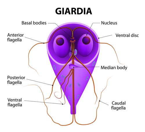Giardia parasite symptoms in humans -