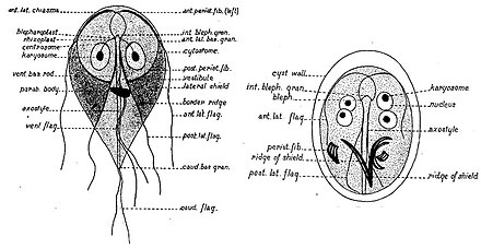 gomba giardiasis)