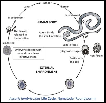 Helminthiasis ascariasis kezelés megelőzése, Mindig a legkisebbeket bántják