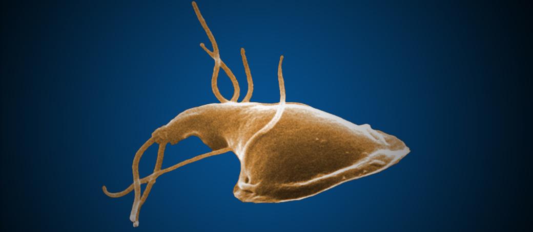emberi paraziták szarvasmarha szalagféreg A pinworms károsítja a testet