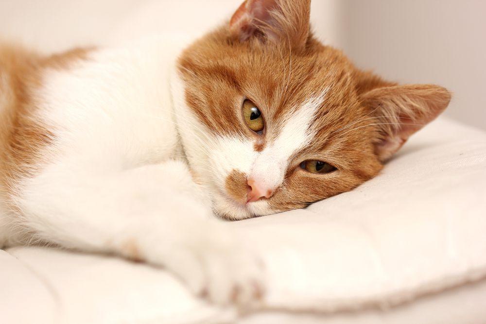 macska bélférgesség tünetei enterobiasis fertőzés útjai
