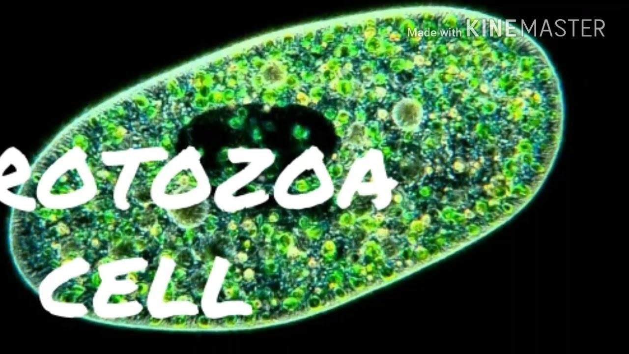 enterobiosis protozoa orsóféreg tünetei kutyáknál