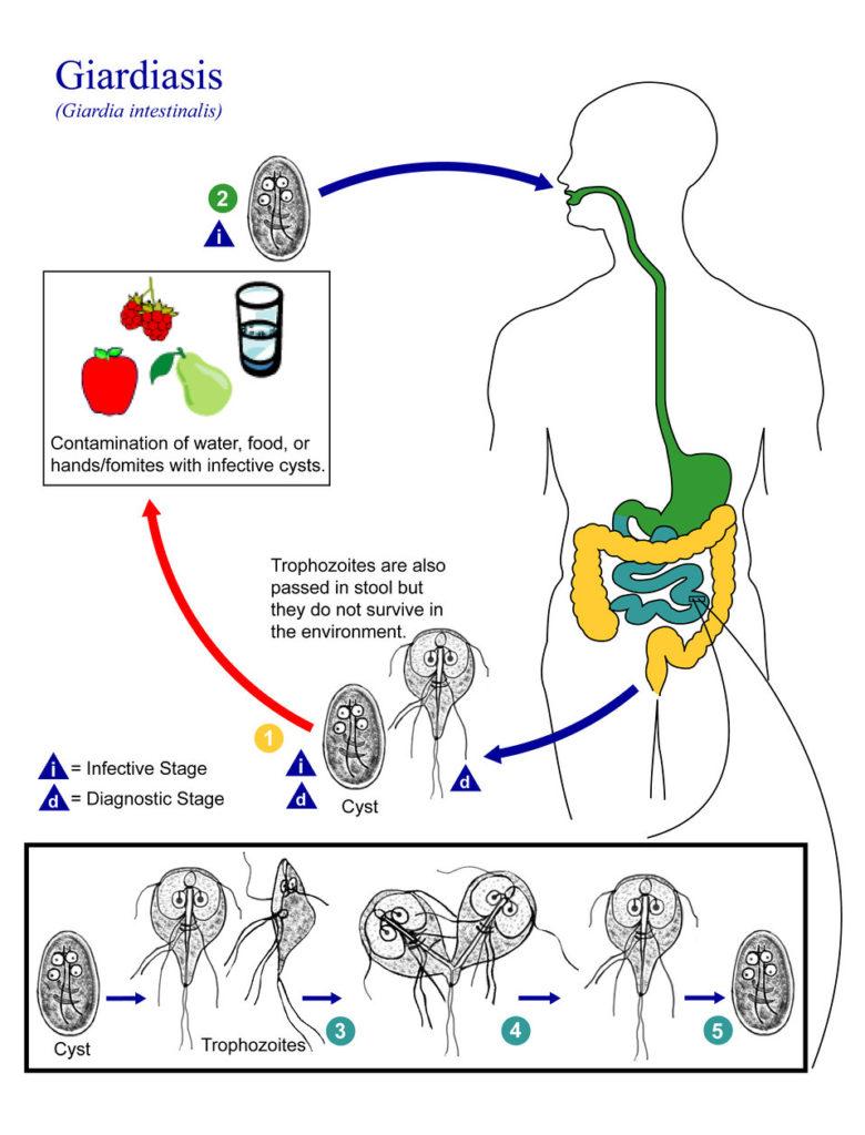 giardia duodenalis life cycle