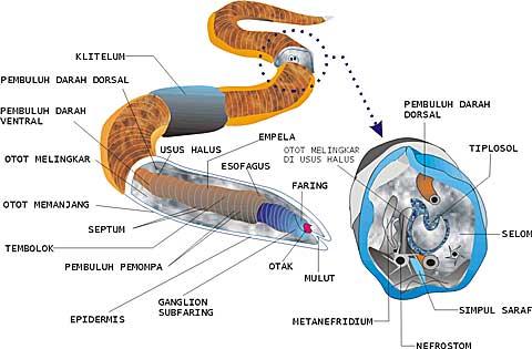 több nemathelminthes filum