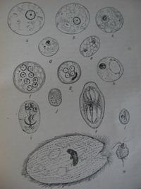 megtermékenyített kerekesférgek élbetegségek kezelése a paraziták számára