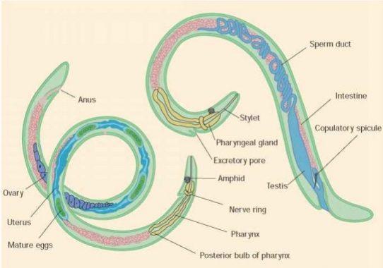 A pinworms széklettel jött ki