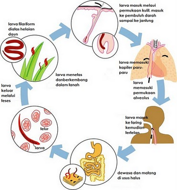 szalagféreg széles morfológiája