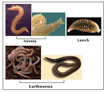contoh platyhelminthes nemathelminthes dan annelida