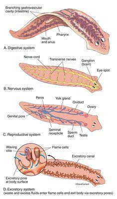 platyhelminthes turbellaria fajok