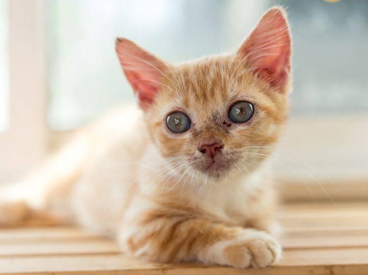 giardien macskák