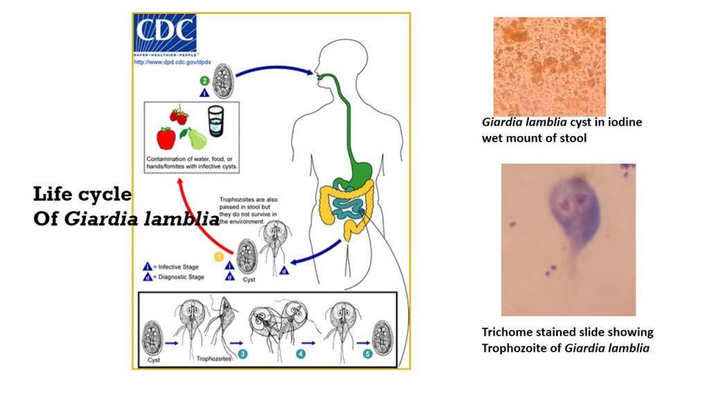 trichomonas kapszula