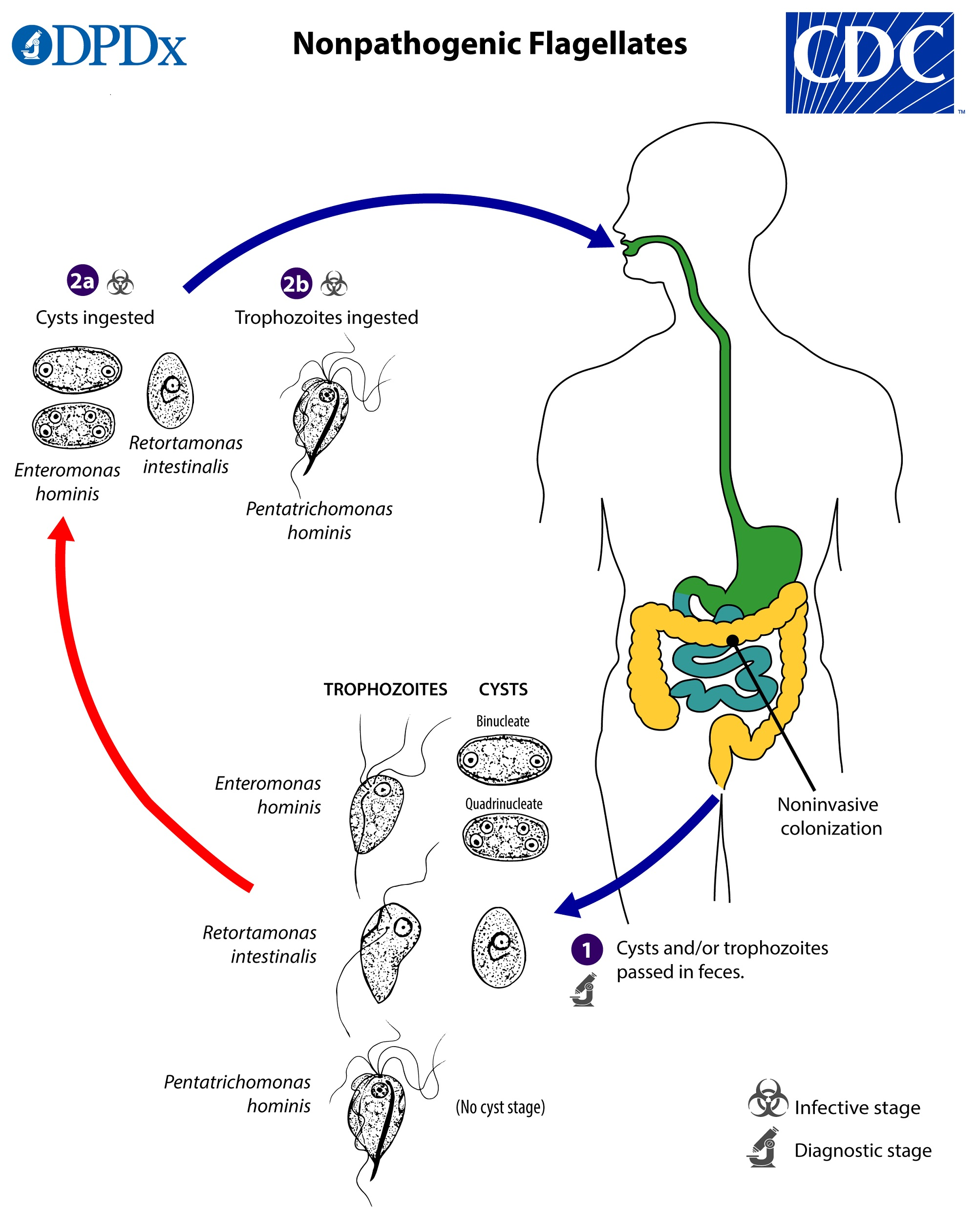 helminthiasis megnyilvánulásai férgek kezelése után a gyomor fáj