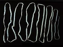 platyhelminthes polycladida gyógyszer férgek helminták listáját