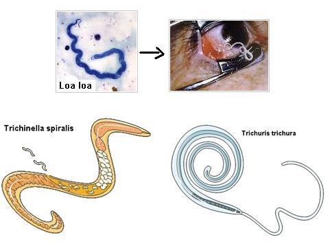 nemathelminthes phylum szaporodik