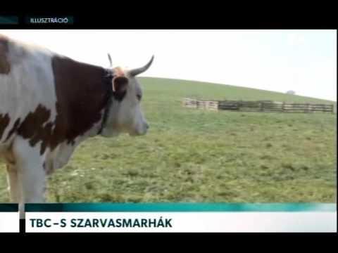 a fertőzött szarvasmarhák férge)