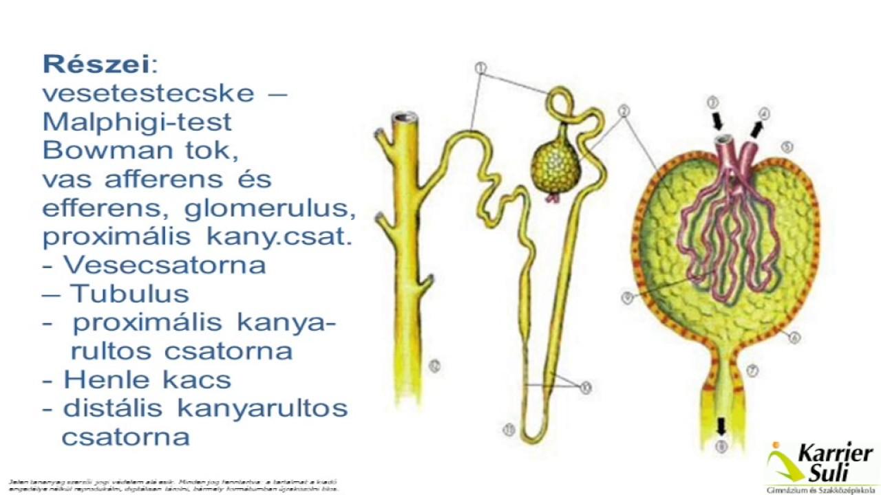 állatgyógyászati készítmények helmintákhoz ascaris férgek kezelése