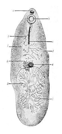parazita opisthorchiasis
