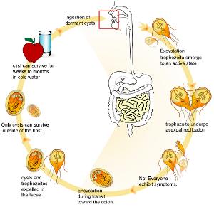 giardiasis epidemiológia étkezés férgek kezelése során
