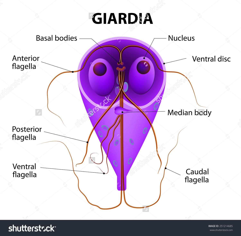 Giardiasis a székletben féregtabletták az emberekben olcsók