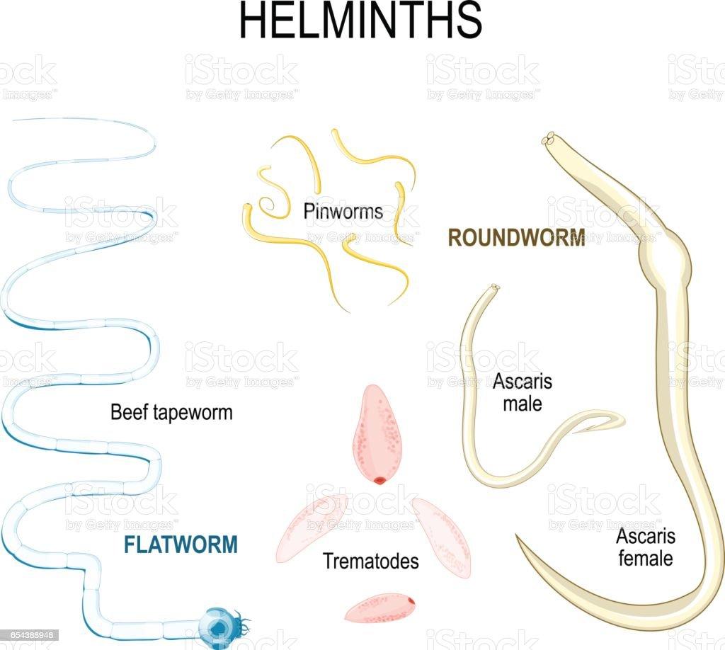 Statisztikák a helminthiasisról - Helminthiasis csoportok Helminth tojás tábla