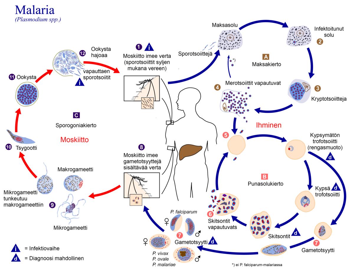 elhalad a Plasmodium malária életciklusa