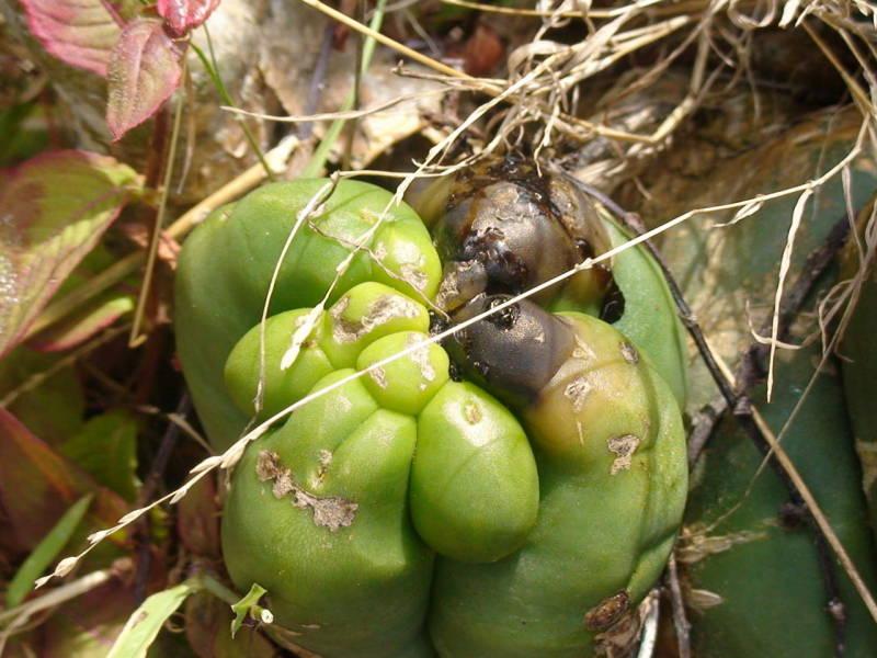 A kaktusz barnává vált. Hogyan lehet felismerni a kaktuszbetegségeket és mit kell tenni?