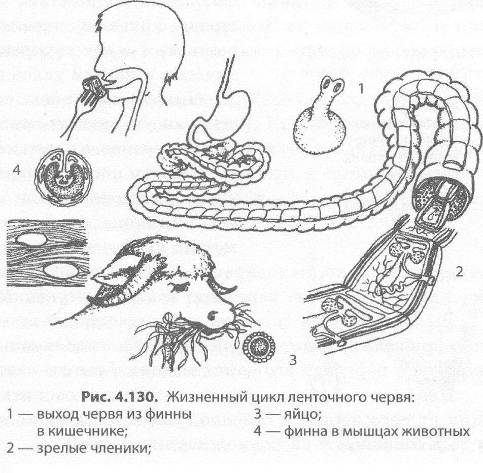 Hol az emberi test parazita ascaris - Élelmiszer