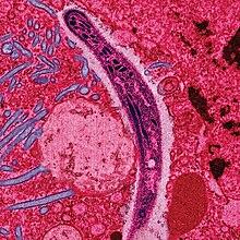 maláriás plazmodium gamont