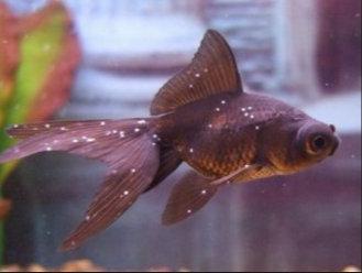 , Monogén paraziták - Milyen halak nem rendelkeznek parazitákkal