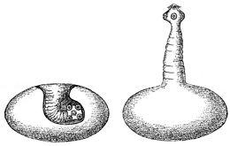 szarvasmarha szalagféreg a testben